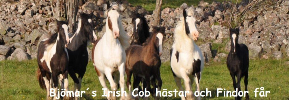 Bjömar´s Irish Cob hästar och Findor får.